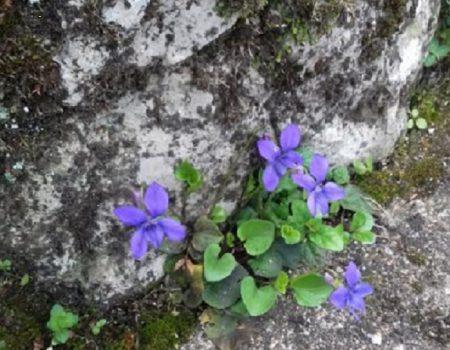 160 violettes
