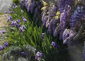 Chemin-en-fleur-Soeurs-de-lAlliance-1