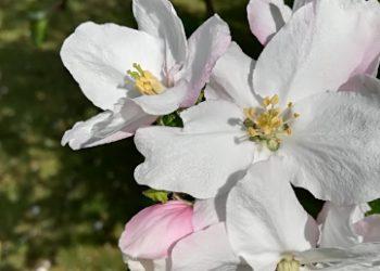 Fleur-Soeurs-de-lAlliance